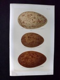 Seebohm 1896 Antique Bird Egg Print. Crane 46